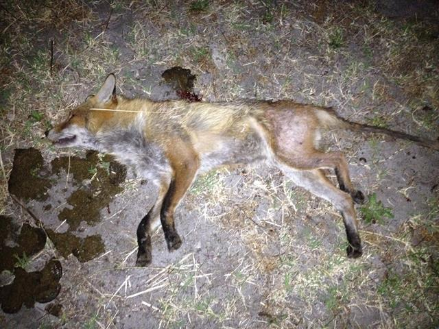 Mangy fox shot while eating cow manure (Photo curtesy Maca)